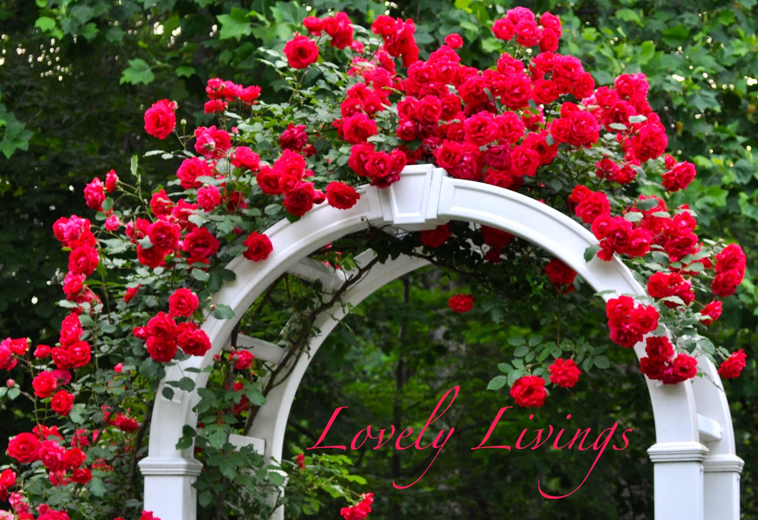 lovely roses |